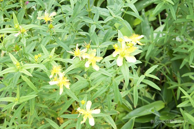 湿原の黄色い花