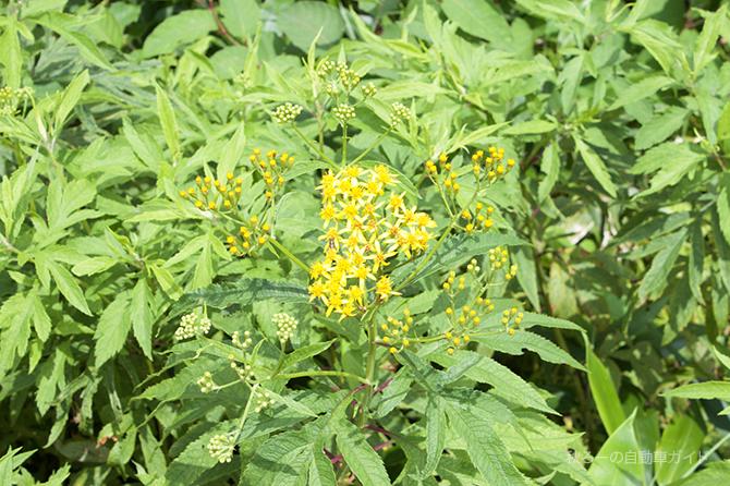 湿原の細かい小さな黄色い花