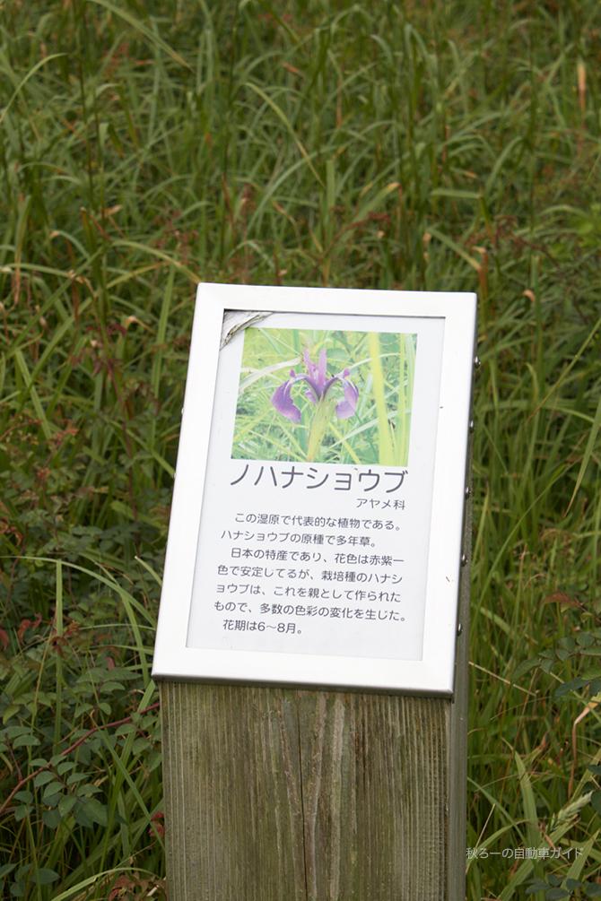 湿原地帯のノハナショウブの説明
