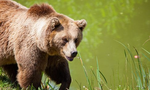獰猛なクマ