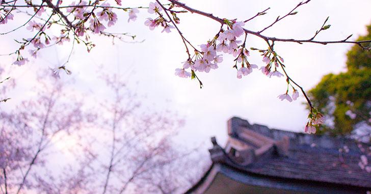 桜と和風建築