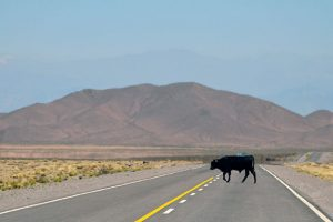高速道路に牛