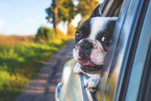 車から顔を出すパグ